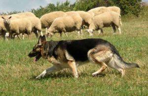 Немецкая овчарка - пастух овец