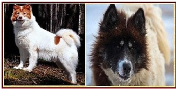 Канадская эскимоская собака